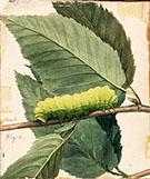 Lunar Caterpillar1 By Abbott H Thayer