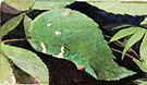 White Birch Leaf Edge Caterpillar By Abbott H Thayer