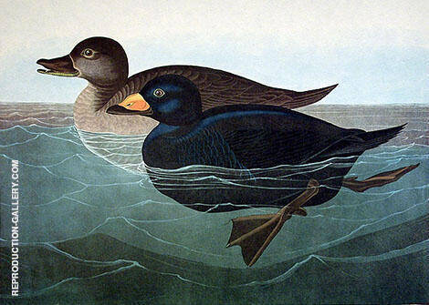 American Scoter Duck By John James Audubon