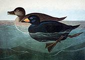 American Scoter Duck By John James Audubon