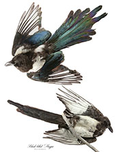 Black Billed Magpie By John James Audubon