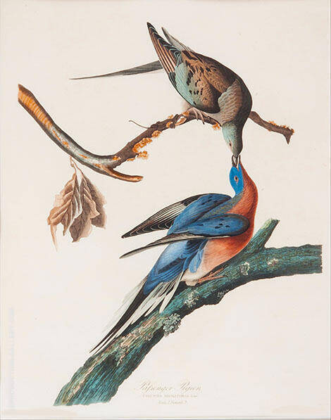 Passenger Pigeon By John James Audubon