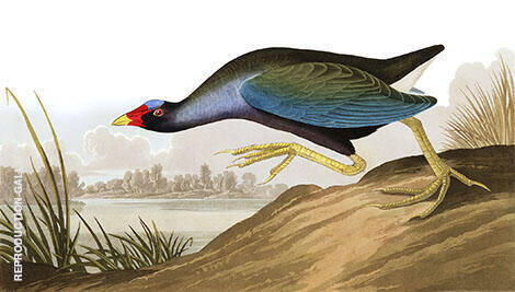 Purple Gallinule By John James Audubon