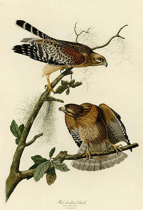 Red Shouldered Hawk By John James Audubon