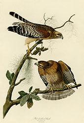 Red Shouldered Hawk By John James Audubon