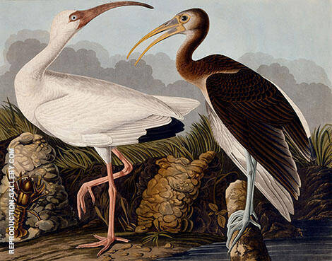 White and Brown Ibis By John James Audubon