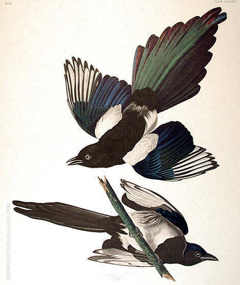 American Magpie Painting By John James Audubon - Reproduction Gallery