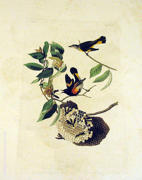 American Redstart By John James Audubon