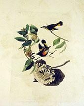 American Redstart By John James Audubon