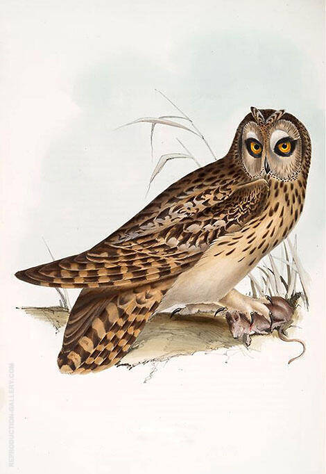 A Short Eared Owl By John James Audubon