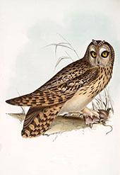 A Short Eared Owl By John James Audubon