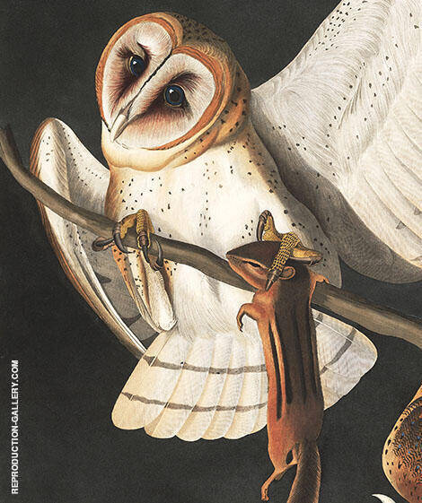 Barn Owl By John James Audubon