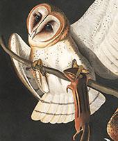 Barn Owl By John James Audubon