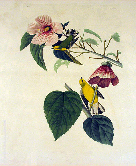 Blue Winged Yellow Warbler By John James Audubon