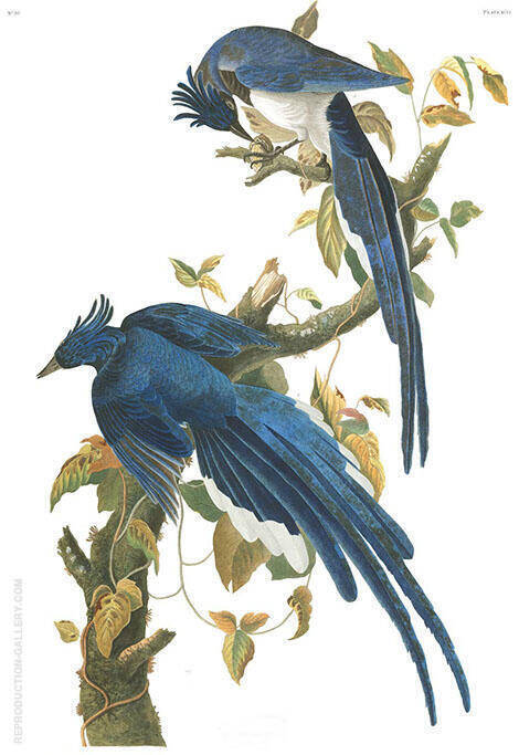 Colombia Jay By John James Audubon
