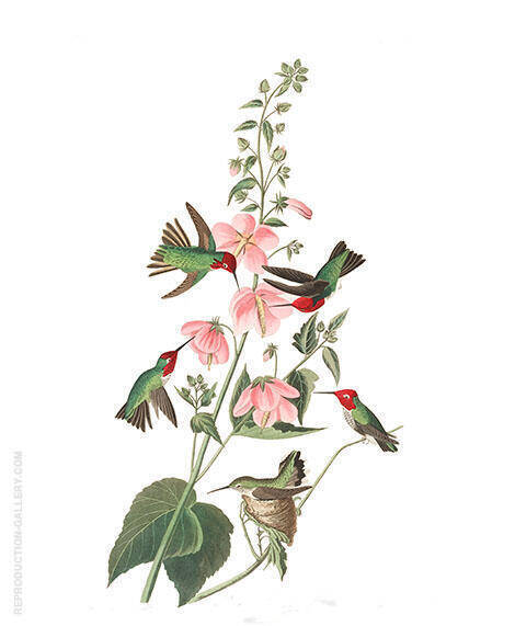 Columbian Hummingbird By John James Audubon