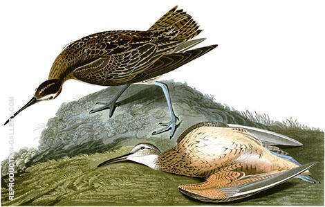 Eskimo Curlew By John James Audubon