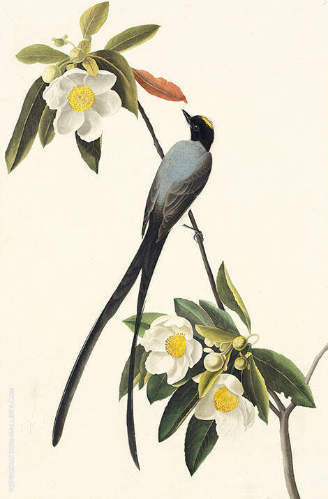 Forktailed Flycatcher By John James Audubon