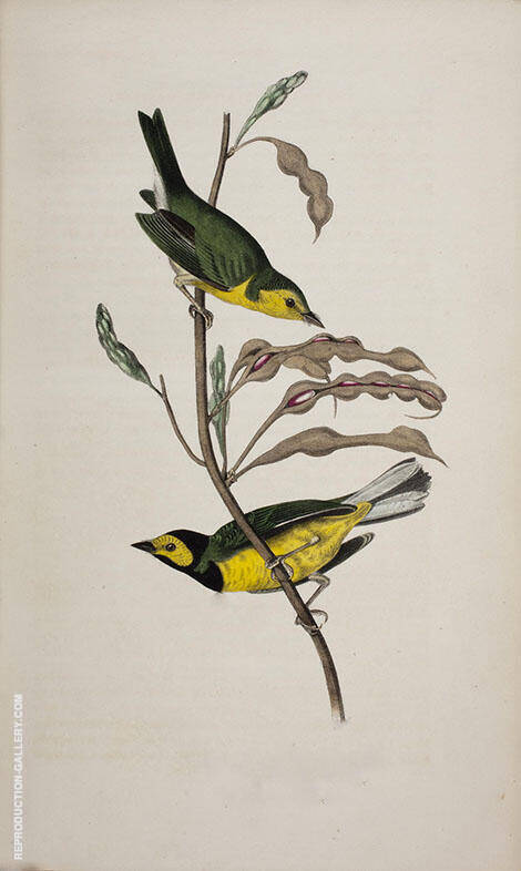 Hooded Flycatching Warbler By John James Audubon
