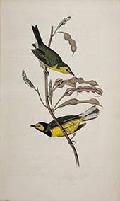 Hooded Flycatching Warbler By John James Audubon
