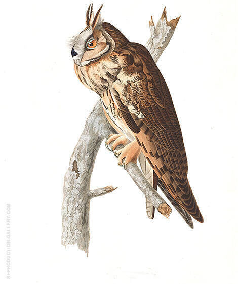 Long Eared Owl By John James Audubon
