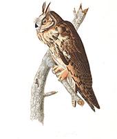 Long Eared Owl By John James Audubon
