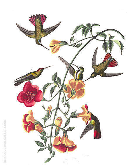 Mango Hummingbird By John James Audubon - Oil Paintings & Art Reproductions - Reproduction Gallery