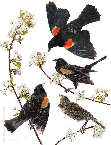 Red Winged Blackbird Painting By John James Audubon - Reproduction Gallery