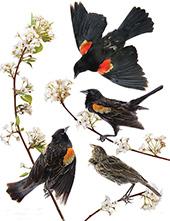 Red Winged Blackbird By John James Audubon