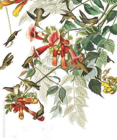 Ruby Throated Humming Bird By John James Audubon