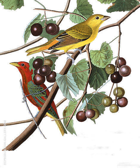 Summer Red Bird By John James Audubon