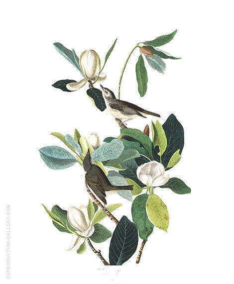 Warbling Flycatcher By John James Audubon