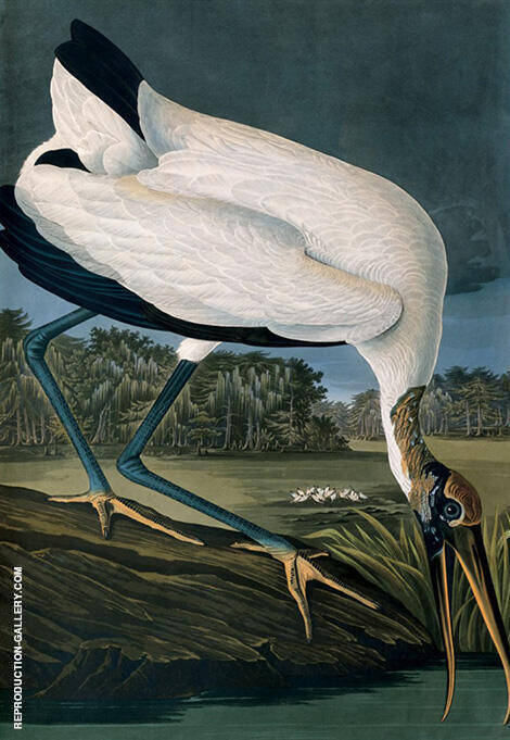 Wood Ibis By John James Audubon