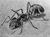 Ant By Maurits Cornelis Escher
