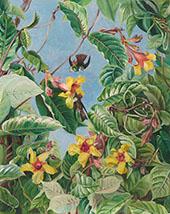 A Brazilian Climbing Shrub and Hummingbirds 1880 By Marianne North