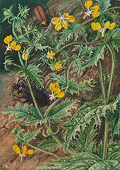 A Chilean Stinging Nettle and Male and Female Beetles 1880 By Marianne North