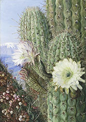 A Chilian Cactus in Flower and Its Leafless Parasite in Fruit By Marianne North