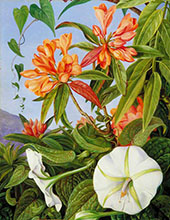 A Javan Rhododendron and Ipomoea 1876 By Marianne North