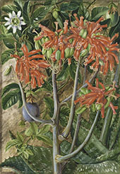 Aloe and Passionflower South Africa By Marianne North