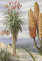 Aloes at Natal By Marianne North