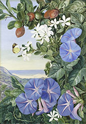 Amatungula in Flower and Fruit and Blue Ipomoea South Africa By Marianne North