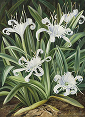 An Asiatic Pancratium Colonised in The Seychelles By Marianne North