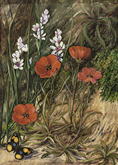 A South African Sundew and Associate By Marianne North
