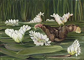 A South African Water Plant in Flower and Fruit By Marianne North