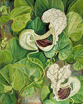 A Tall Brazilian Climbe 1880 By Marianne North