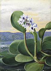 A Tropical American Water Plant By Marianne North