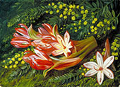 Australian Spear Lily and an Acacia 1880 By Marianne North