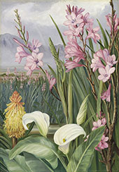 Beauties of The Swamps at Tulbagh South Africa By Marianne North