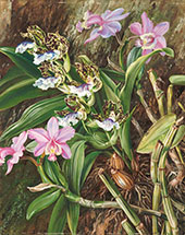 Brazilian Orchids 1880 By Marianne North