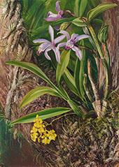 Brazilian Orchids and Other Epiphytes 1880 By Marianne North